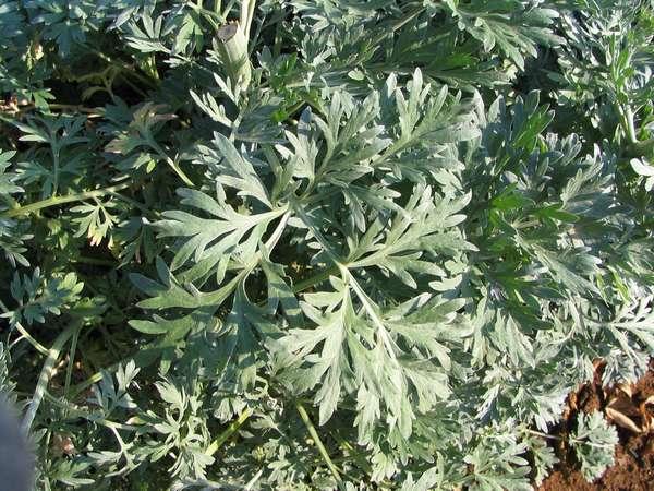 Absinthium (Wormwood)