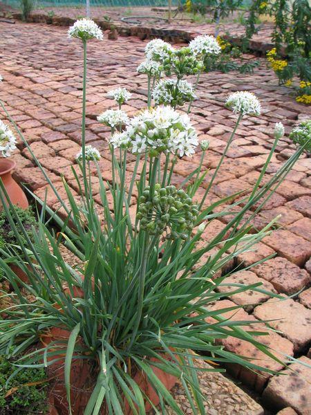 chives garlic allium tuberosum
