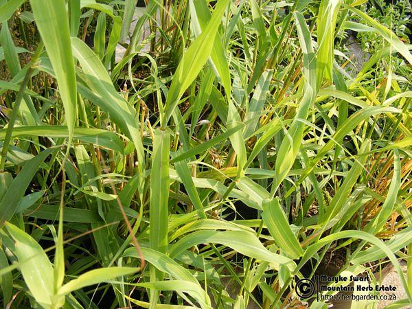 Grass Scented Palmarosa Cymbopogon Martinii Var Motia