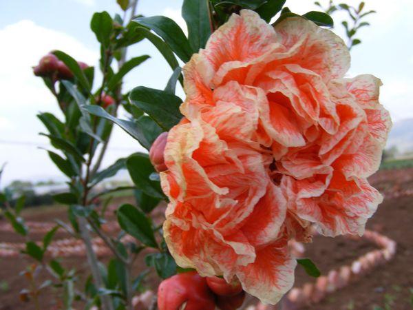 Mountain Herb Estate Pomegranate Flowering Pomegranate